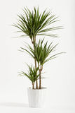 Yucca plant potted in a container Stock Images