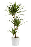 Yucca plant potted in a container Stock Photos