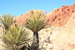 Yucca plant at Red Rock National Patk. Yucca plant growing wild at the Red Rock National park in Nevada , California royalty free stock images