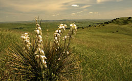 Yucca plant Royalty Free Stock Photography