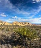 Yucca plant, USA Royalty Free Stock Photo