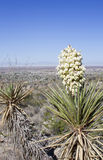 Yucca plant with white flowers Stock Image