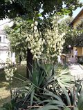 Yucca plant with white flowers. In the park stock photo