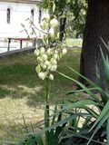 Yucca plant with white flowers. In the park royalty free stock image