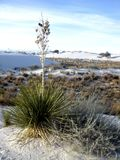 Yucca Plant at White Sands Stock Photo