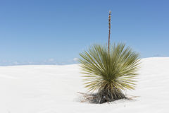 Yucca Plant At White Sands Stock Photos