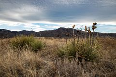 Yucca plant in winter. Yucca plant on wintry grass prairie with rocky mountains and gray sky in background royalty free stock photo