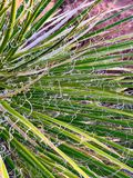 Yucca plant. With curly leaf royalty free stock photos