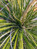 Yucca plant. With curly leaf stock photo