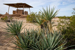 Yucca plants at casa grande hohokam ruins Royalty Free Stock Images