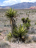 Yucca Plants In The Desert. Yucca Plants At Red Rock Canyon Near Las Vegas Nevada Stock Photography