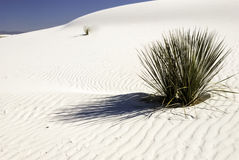 Yucca Plants in the White Sands - 2. Yucca plants grow up through the shifting sands Stock Image