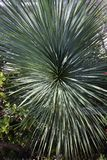 Yucca rostrata. Linear leavese and sharp leavese/Yucca rostrata Stock Image