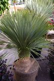 The yucca rostrata in pot, is a beautiful semi-succulent evergreen ornamental plant of the Liliaceae family. stock photography