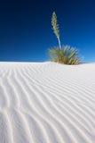 Yucca in sabbia bianca Fotografia Stock Libera da Diritti