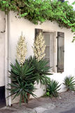 Yucca in Saint-Martin-de-Ré, France Royalty Free Stock Photo