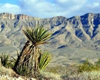 Yucca saluant les falaises grandes de lavage Photographie stock libre de droits