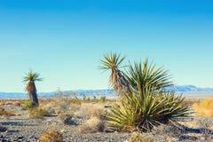 Yucca Schidigera Royalty Free Stock Image