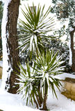 Yucca in the snow Stock Images