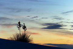 Yucca am Sonnenuntergang Stockfotografie