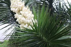 Yucca. Spiky yucca gloriosa blooming in summer time Royalty Free Stock Image