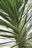 Yucca. Spiky yucca gloriosa blooming in summer time Stock Images