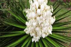 Yucca. Spiky yucca gloriosa blooming in summer time Stock Photos