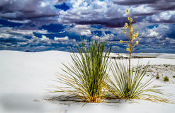 Yucca Survives. This Shot is of a couple of Yucca Plants trying to survive at White Sands National Park,NM Royalty Free Stock Images