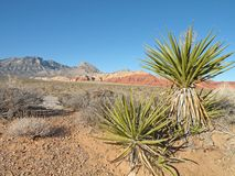 Yucca Tree Stock Photography