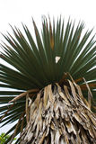Yucca Tree Royalty Free Stock Photos
