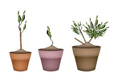 Yucca Tree and Dracaena Plant in Ceramic Pots. Illustration of Three Dracaena Plant or Yucca Tree in Terracotta Flower Pots for Garden Decoration royalty free illustration