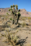 Yucca Tree in the Mountains Royalty Free Stock Photos