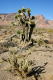 Yucca Tree in the Mountains, Joshua Tree National Park Stock Image