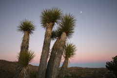 Yucca Trees. In mojave desert after sunset with full moon Royalty Free Stock Image