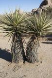 Yucca Trees Royalty Free Stock Photo
