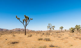 Yucca trees in Joshua Tree National Park Royalty Free Stock Images