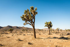 Yucca trees in Joshua Tree National Park Stock Images