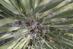 Yucca type southwestern plant. With curly fibers Stock Photo