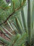 Yucca und Kiefer Lizenzfreie Stockfotografie
