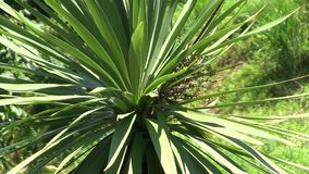 Yucca stock video