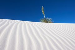 Yucca and White Sand. A Yucca plant in the White Sands National Monument, New Mexico, USA royalty free stock images