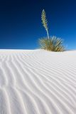Yucca in White Sand. A Yucca plant on a rippled sand dune in the White Sands National Monument, New Mexico, USA Royalty Free Stock Photography