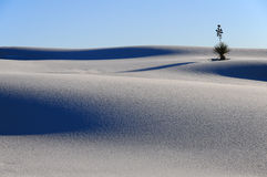 Yucca in the White Sands Dune Stock Image