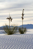 Yucca at White Sands National Monument. Near Alamogordo, New Mexico Stock Photos