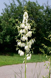 Yucca (yucca filamentosa). The yucca (yucca filamentosa) of park and garden ornament Royalty Free Stock Photography