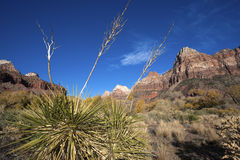 Yucca in Zion National Park Stock Photos