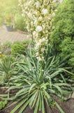 Yuccabloemen in sommertuin stock afbeelding