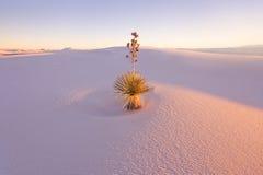 Yuccaen på White Sands den nationella monumentet Arkivfoto