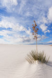 Yuccaen på White Sands den nationella monumentet Royaltyfri Bild