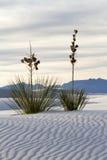 Yuccaen på White Sands den nationella monumentet Arkivfoton